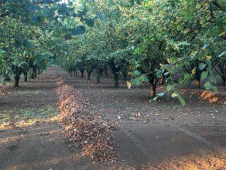 Proizvodnja lešnika – voćnjak koji vredi čekati